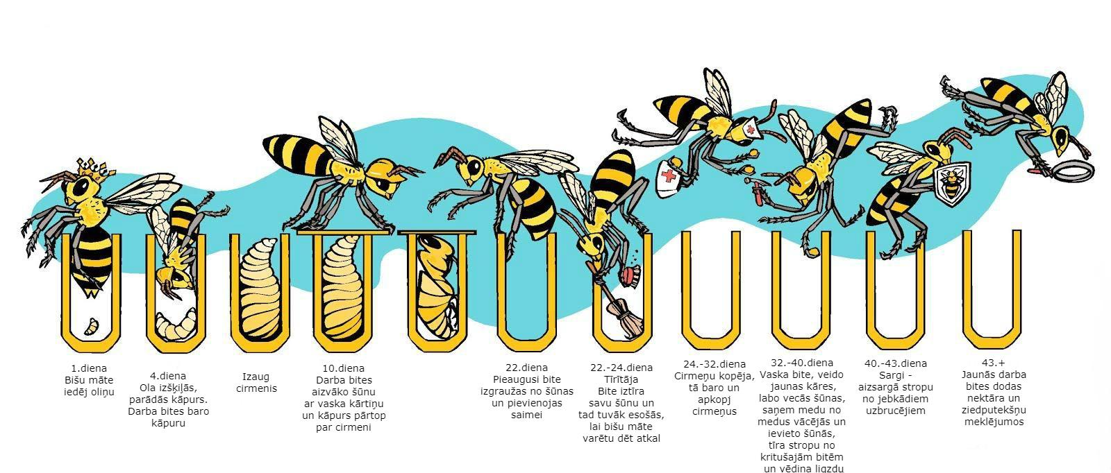 Bites dzīves cikls